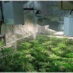 12- Seguimiento marihuana LEC Criti-13: Primeros 17 días de floración