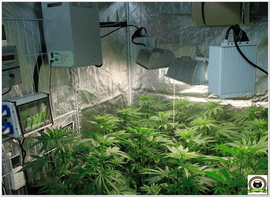 12- cultivo marihuana LEC Criti-13: Primeros 17 días de floración 1