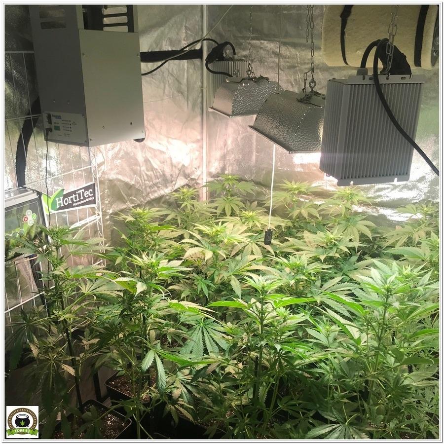 "12-Seguimiento marihuana LEC ""Criti-13"": Primeros 17 días de floración-6"