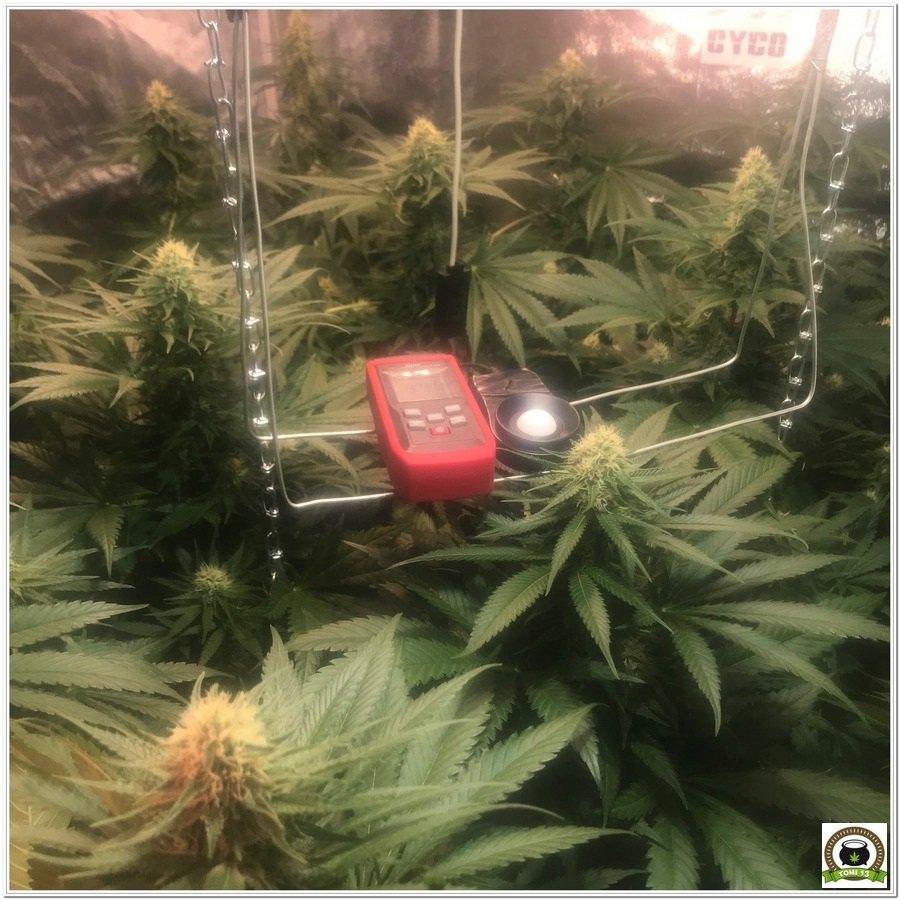 14-Seguimiento marihuana LEC Criti-13: 4º y 5º semana de floración-6
