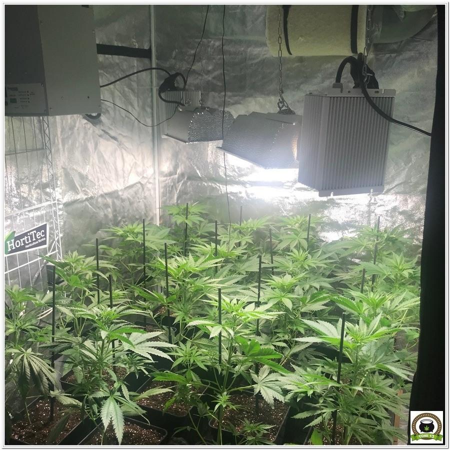 10- Seguimiento marihuana LEC Criti-13: Última poda de ramas bajas 5