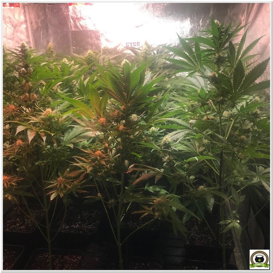 14-Seguimiento marihuana LEC Criti-13: 4º y 5º semana de floración-5