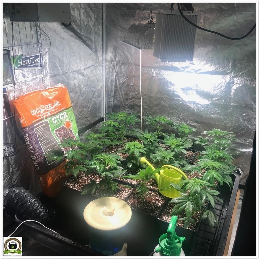 armario en crecimiento de plantas de marihuana con abonos Cyco