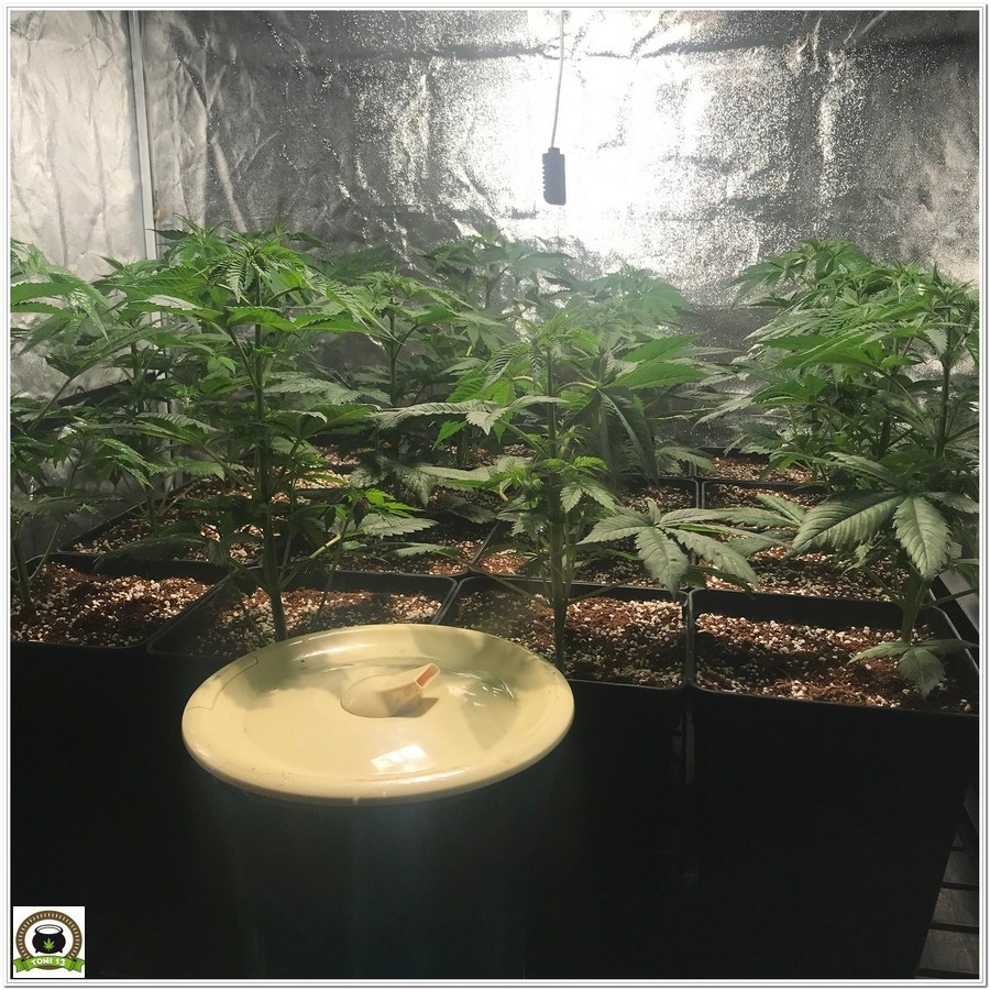 9-Cultivo marihuana medicinal con abonos Cyco-25