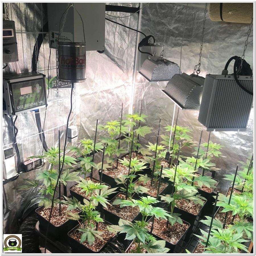 10-Cultivo marihuana medicinal con abonos Cyco-27