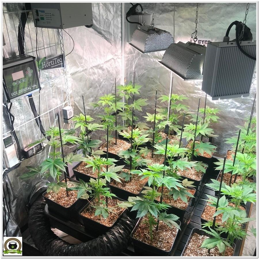11-Cultivo marihuana medicinal Cyco-28