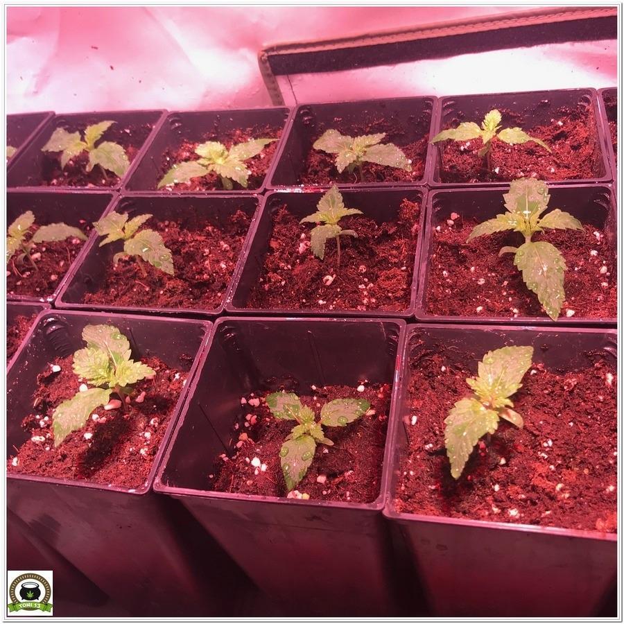 5-Cultivo marihuana medicinal con abonos Cyco-10