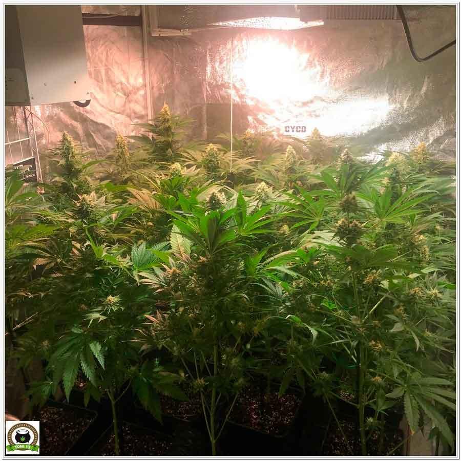 armario de interior de marihuana con LEC 1 Cyco