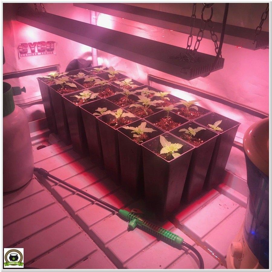 6-Cultivo marihuana medicinal con abonos Cyco-11