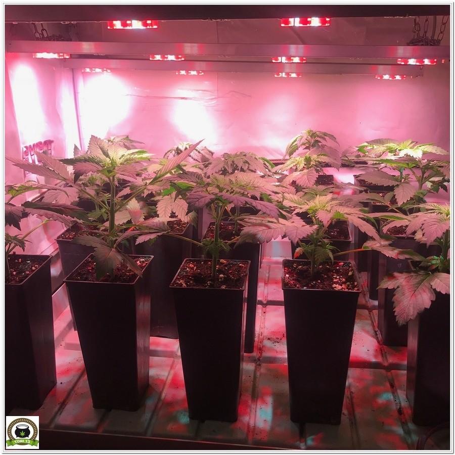 7-Cultivo marihuana medicinal con abonos Cyco-17