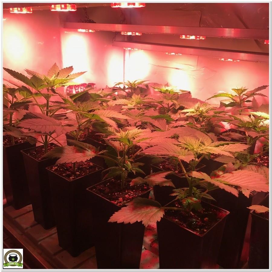 8-Cultivo marihuana medicinal con abonos Cyco-18