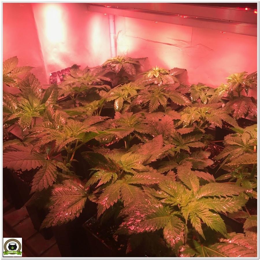 8-Cultivo marihuana medicinal con abonos Cyco-19
