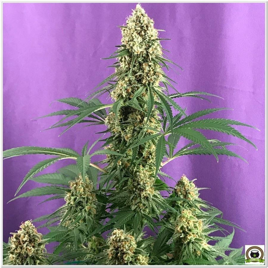Planta de marihuana cultivada con Cyco y luminaria LEC