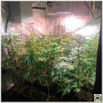 13- Seguimiento marihuana LEC Criti-13: Día 18 a 21 de floración, repoda