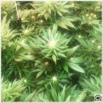 14- Seguimiento marihuana LEC Criti-13: 4º y 5º semana de floración
