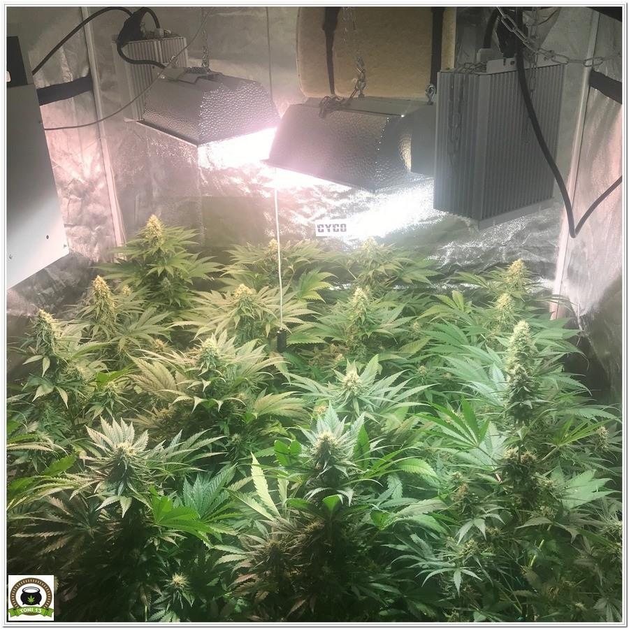 cultivo de marihuana Cyco LEC Solux plantas en floración 1