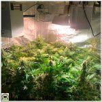 16- Seguimiento marihuana LEC Criti-13: 7º semana de floración