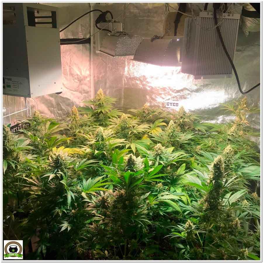 cultivo de marihuana de interior con armario y LEC