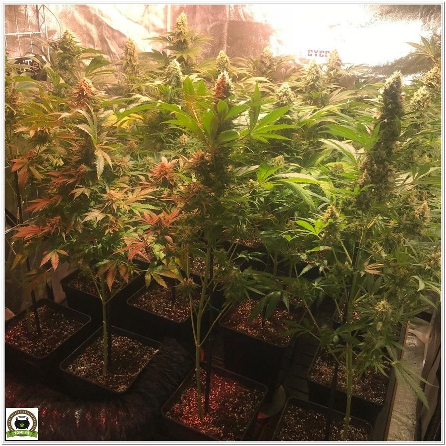 16-Seguimiento marihuana LEC Criti-13: 7º semana de floración-2