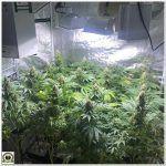 17- Seguimiento marihuana LEC Criti-13: Lavado de raíces y cambio de lámpara