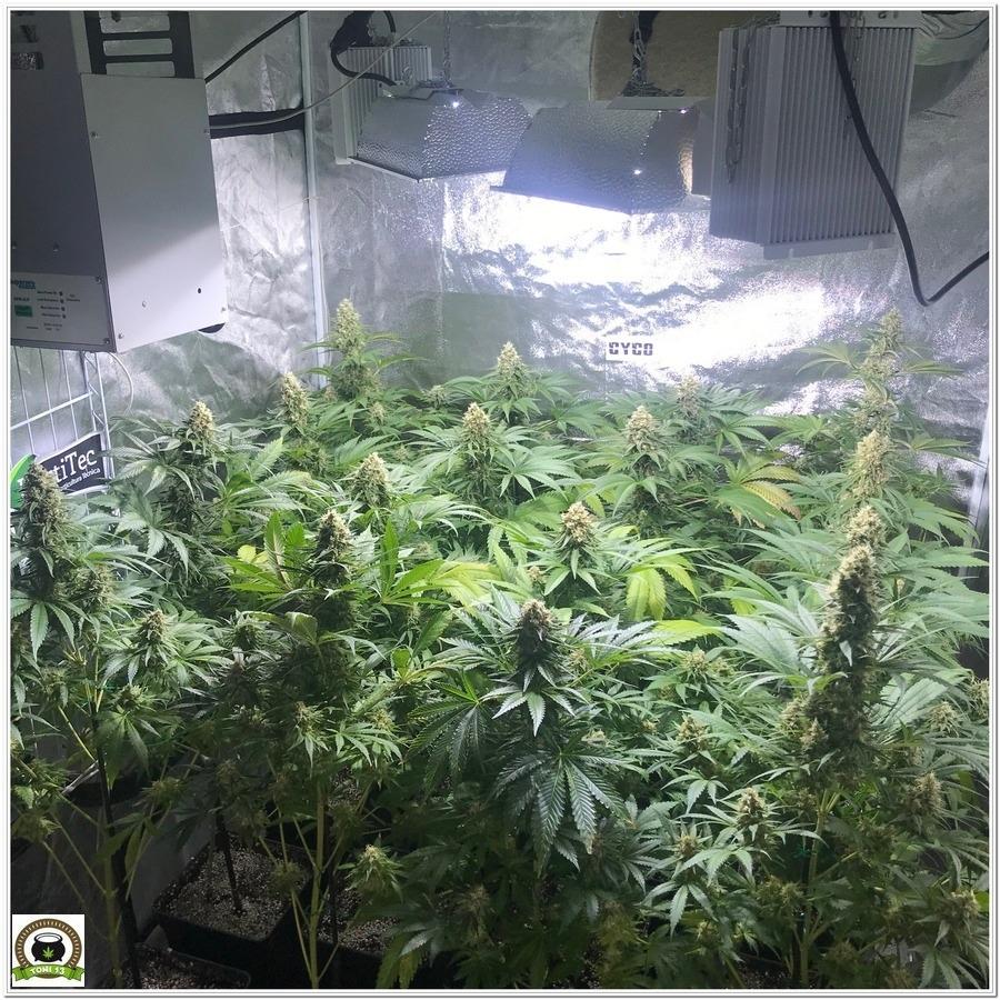 cultivo de marihuana indoor después del lavado de raíces