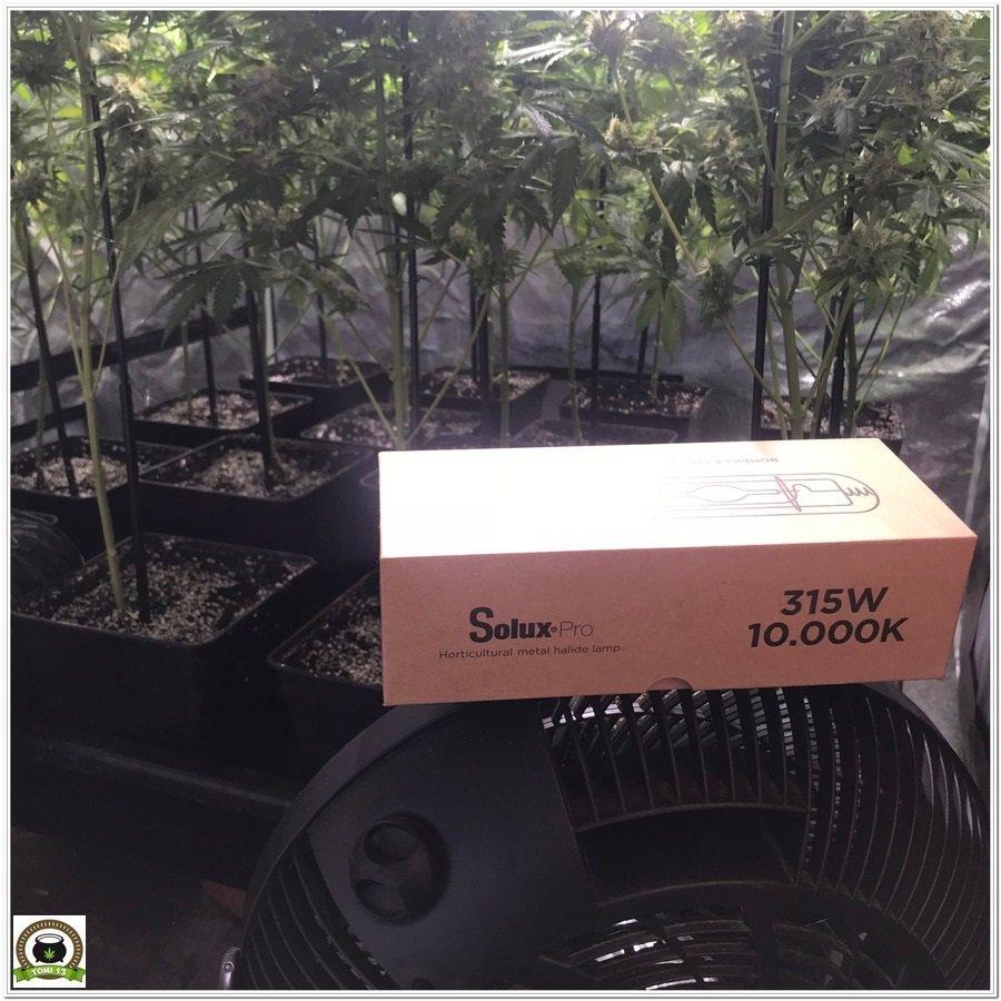 Solux en cultivo de marihuana de interior