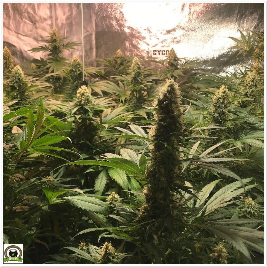 puntas de plantas de marihuana en armario de interior cyco LEC