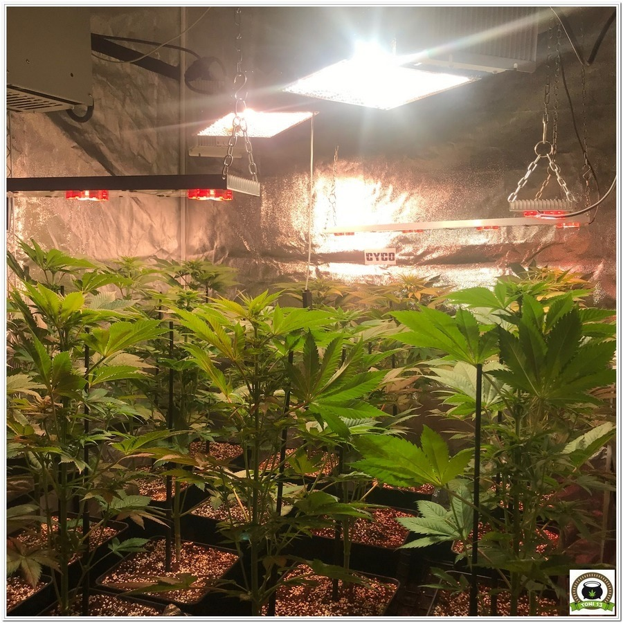 11-Cultivo marihuana medicinal Cyco-33