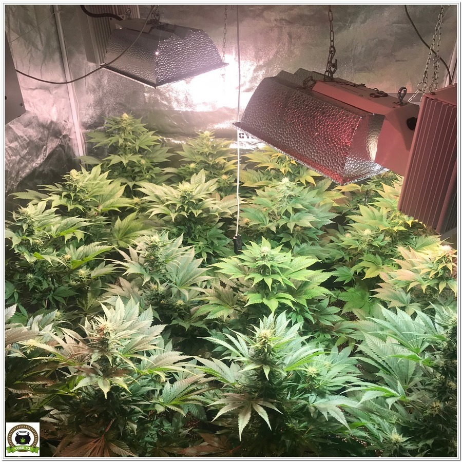 11-Cultivo marihuana medicinal Cyco-38