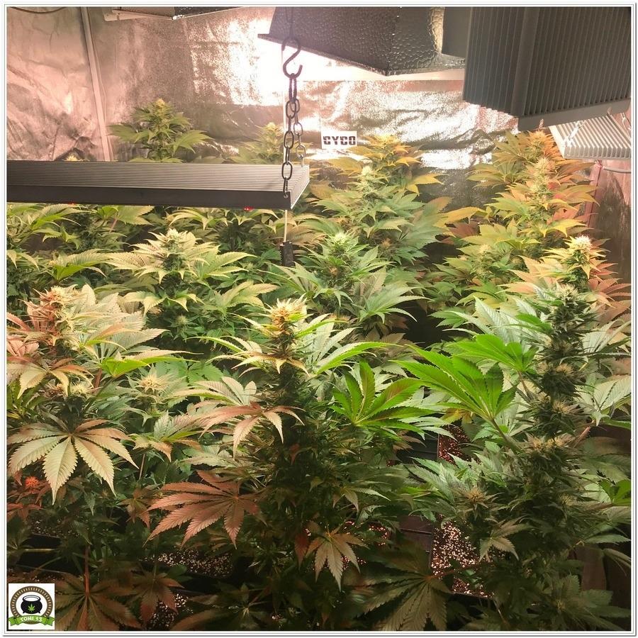 11-Cultivo marihuana medicinal Cyco-40