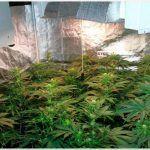 Repoda de ramas bajas en floracion en cultivos de marihuana