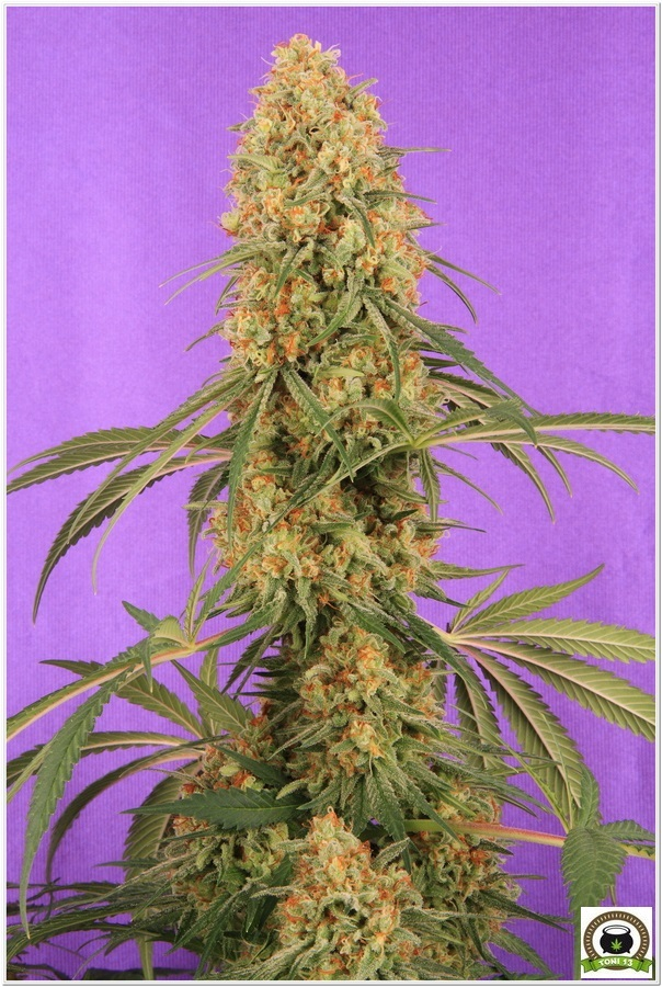 Planta de marihuana Cyco y LEC
