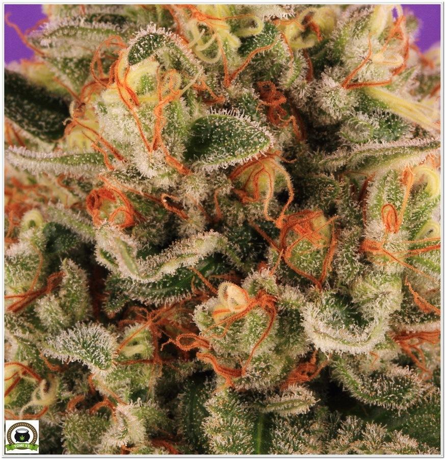 Cogollo de marihuana cultivada con Cyco y luminaria LEC 2