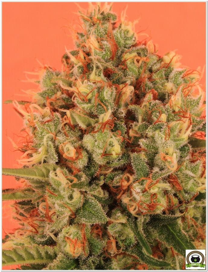 Planta de marihuana cultivada con Cyco y luminaria LEC 3