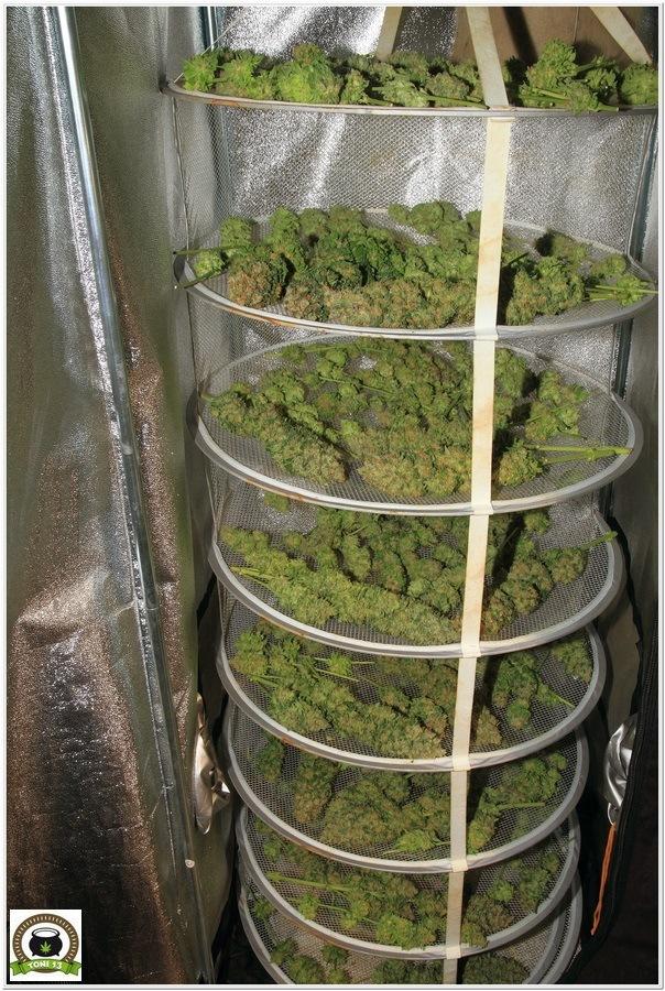 Cultivar marihuana con Lec: Las primeras impresiones de toni13-3