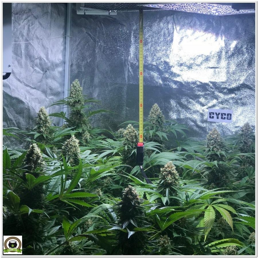 18-Seguimiento marihuana LEC Criti-13: Se cosecha en 8º semana de floración-3