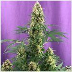 18- Seguimiento marihuana LEC Criti-13: Cosechado 8º semana de floración