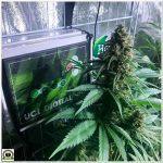 19- Cultivar marihuana con LEC: Primeras impresiones de Toni13