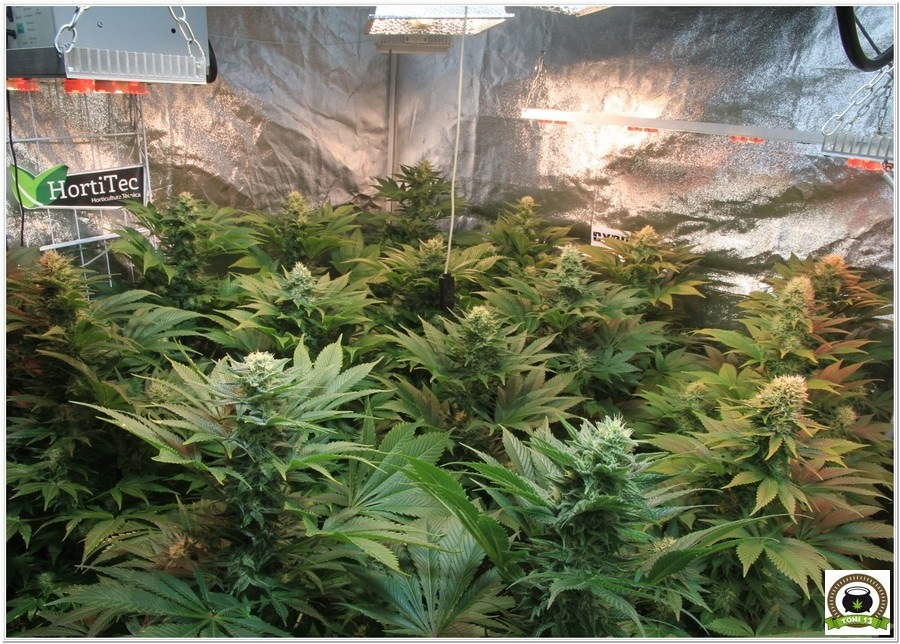 11-Cultivo marihuana medicinal Cyco-43
