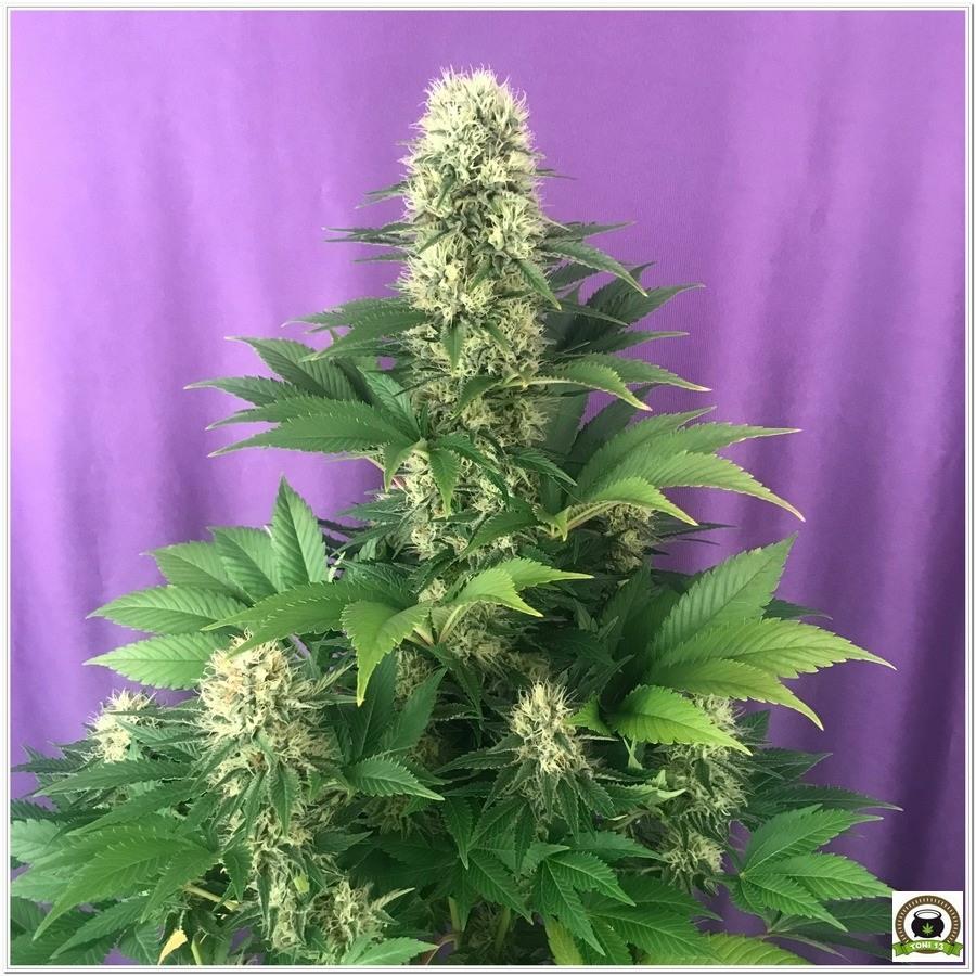 Como utilizar abonos Cyco en cultivos de marihuana-3