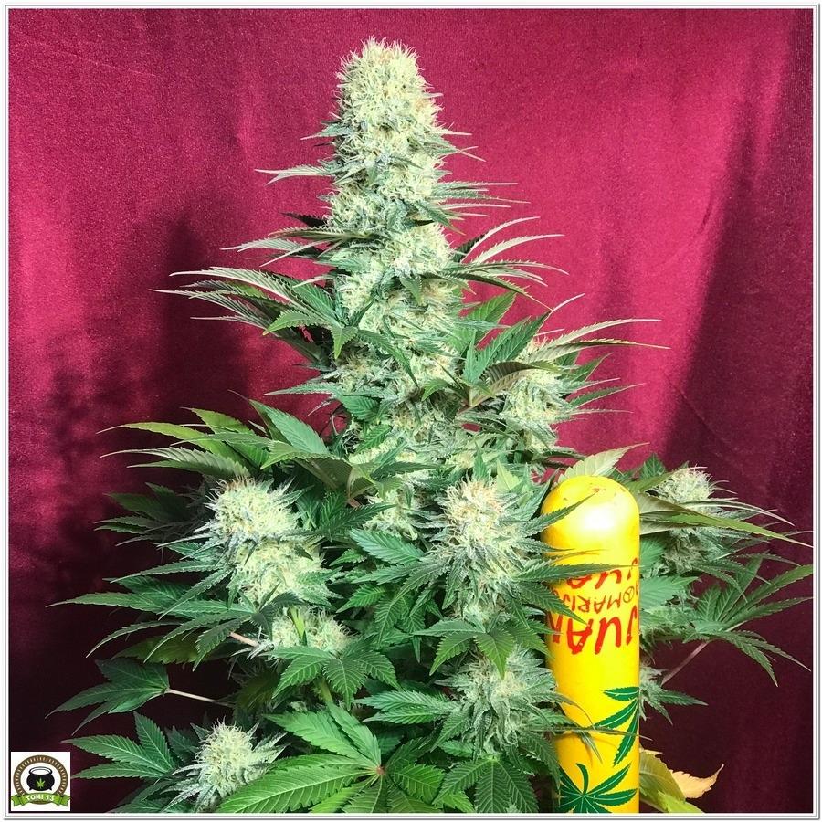 11-Cultivo marihuana medicinal Cyco-51