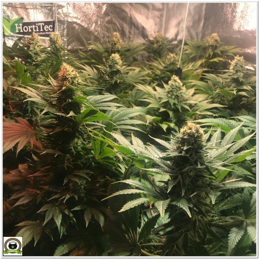 14-Cultivo marihuana medicinal Cyco-54