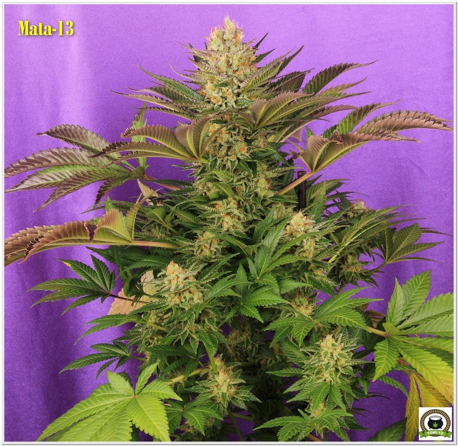 14-Cultivo marihuana medicinal Cyco-61
