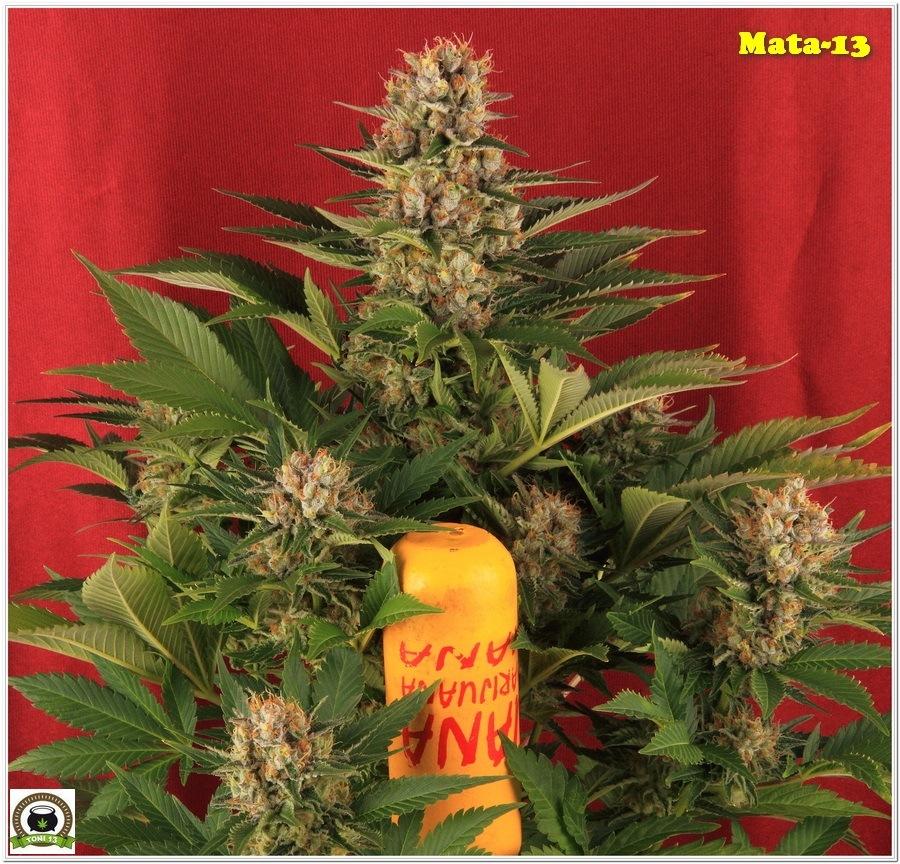 14-Cultivo marihuana medicinal Cyco-62