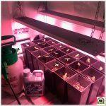 4- Abonando con Cyco fertilizantes – Cultivo de marihuana medicinal