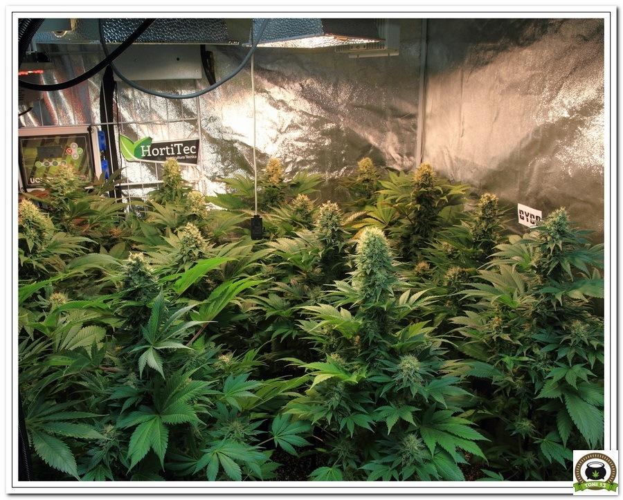 14-Cultivo marihuana medicinal Cyco-59