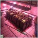 6- Cultivo marihuana medicinal – Riego en crecimiento, se añade barra led