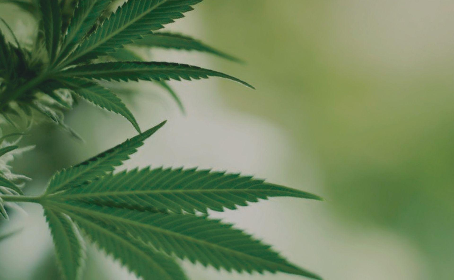 Cannabipedia- Guía de cultivo de marihuana.