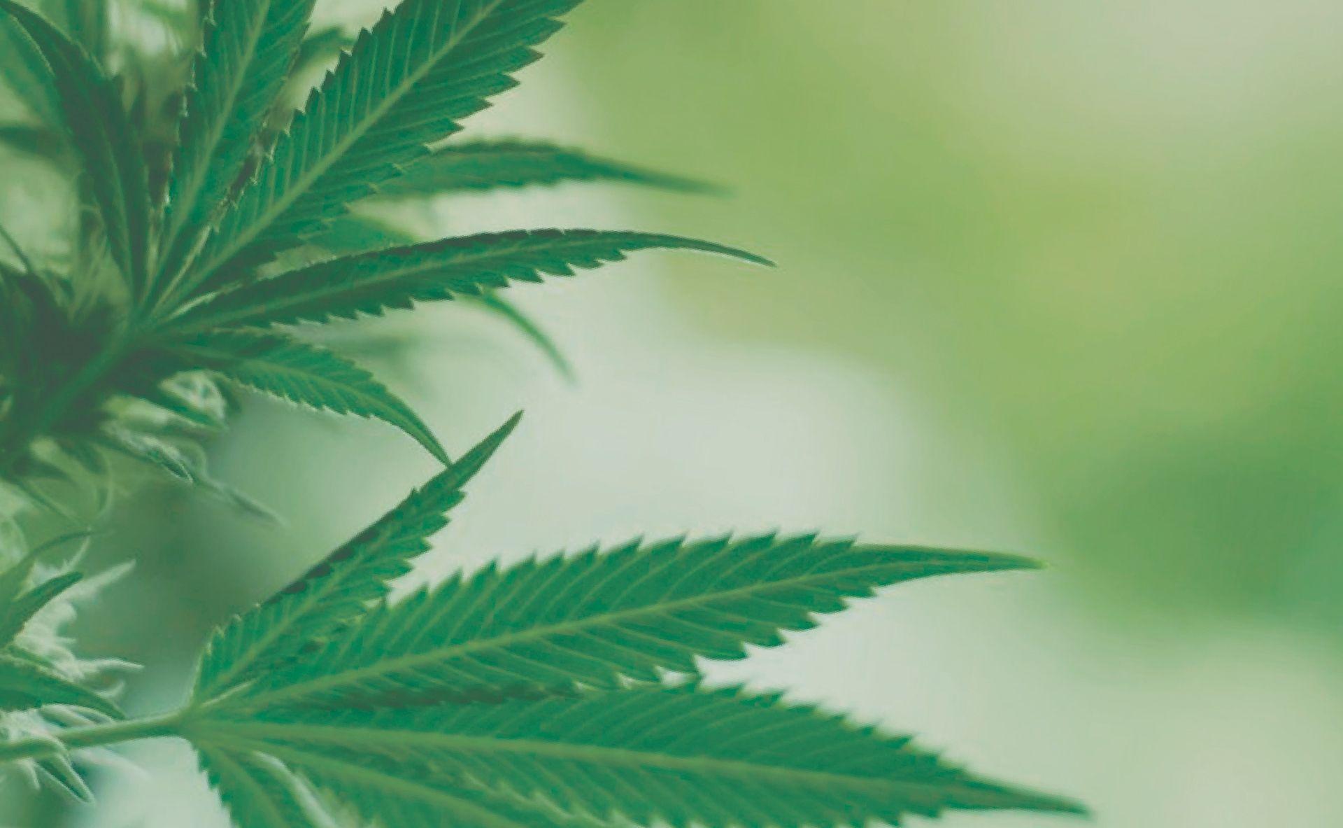 La cannabipedia. Guía de cultivo de marihuana.