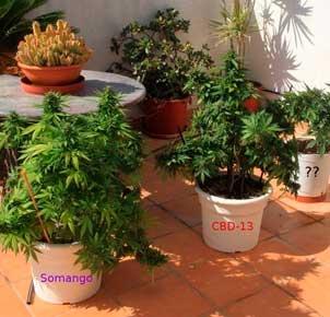 Cannabis en terrafa